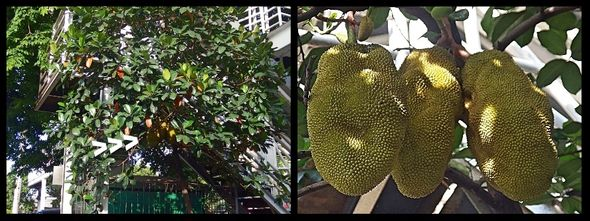 pohon nangka di bawah jembatan penyeberangan, pasar tomas, cideng