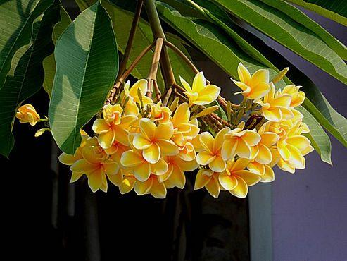 bunga kemboja kuning di halaman rumah budi dan yani