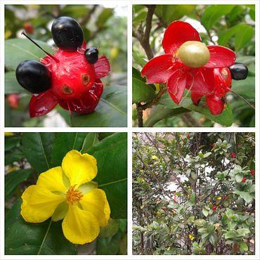 Entah tanaman apa, si merah dan si kuning dalam pohon yang sama