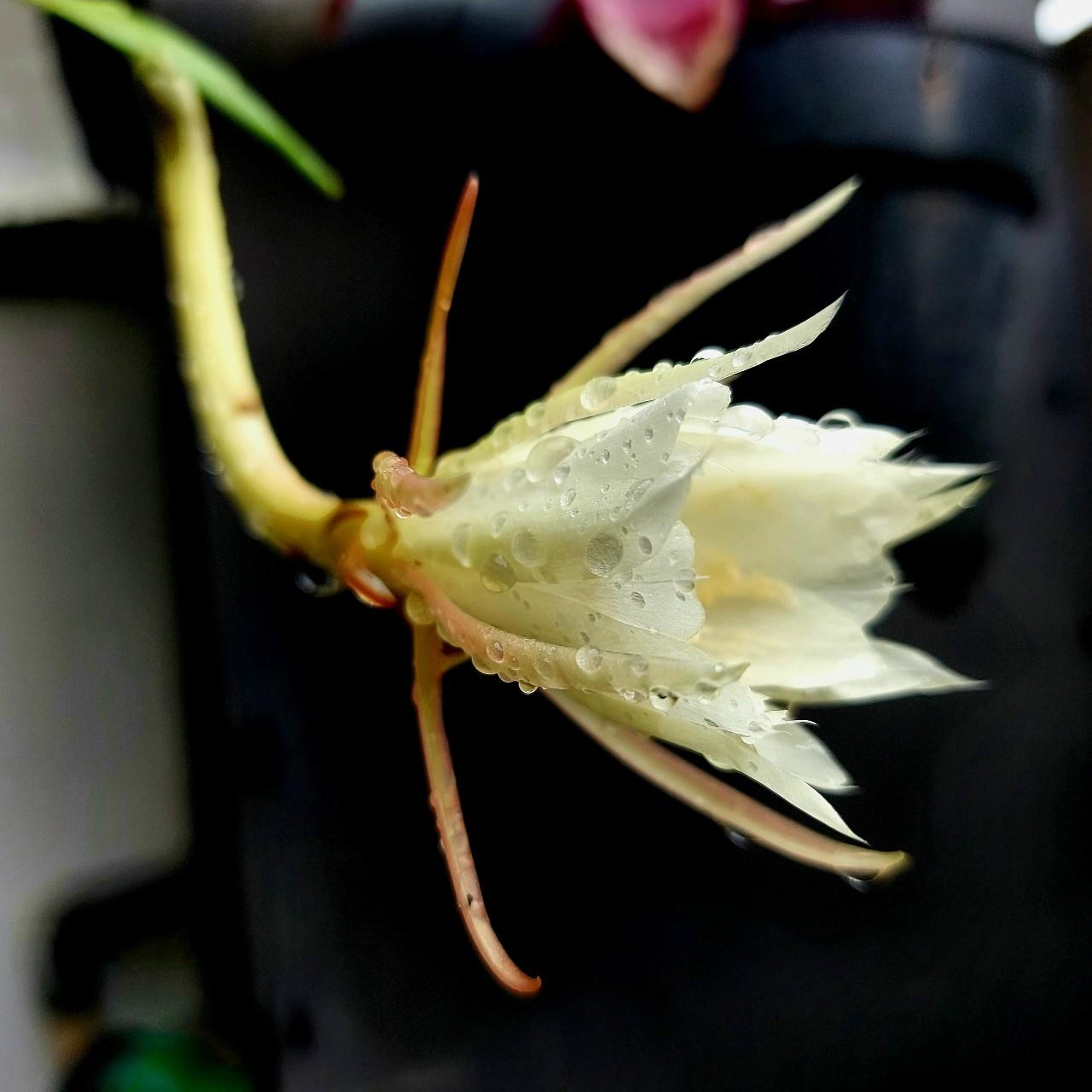 Bunga wijayakusuma belum mekar penuh sudah diguyur hujan