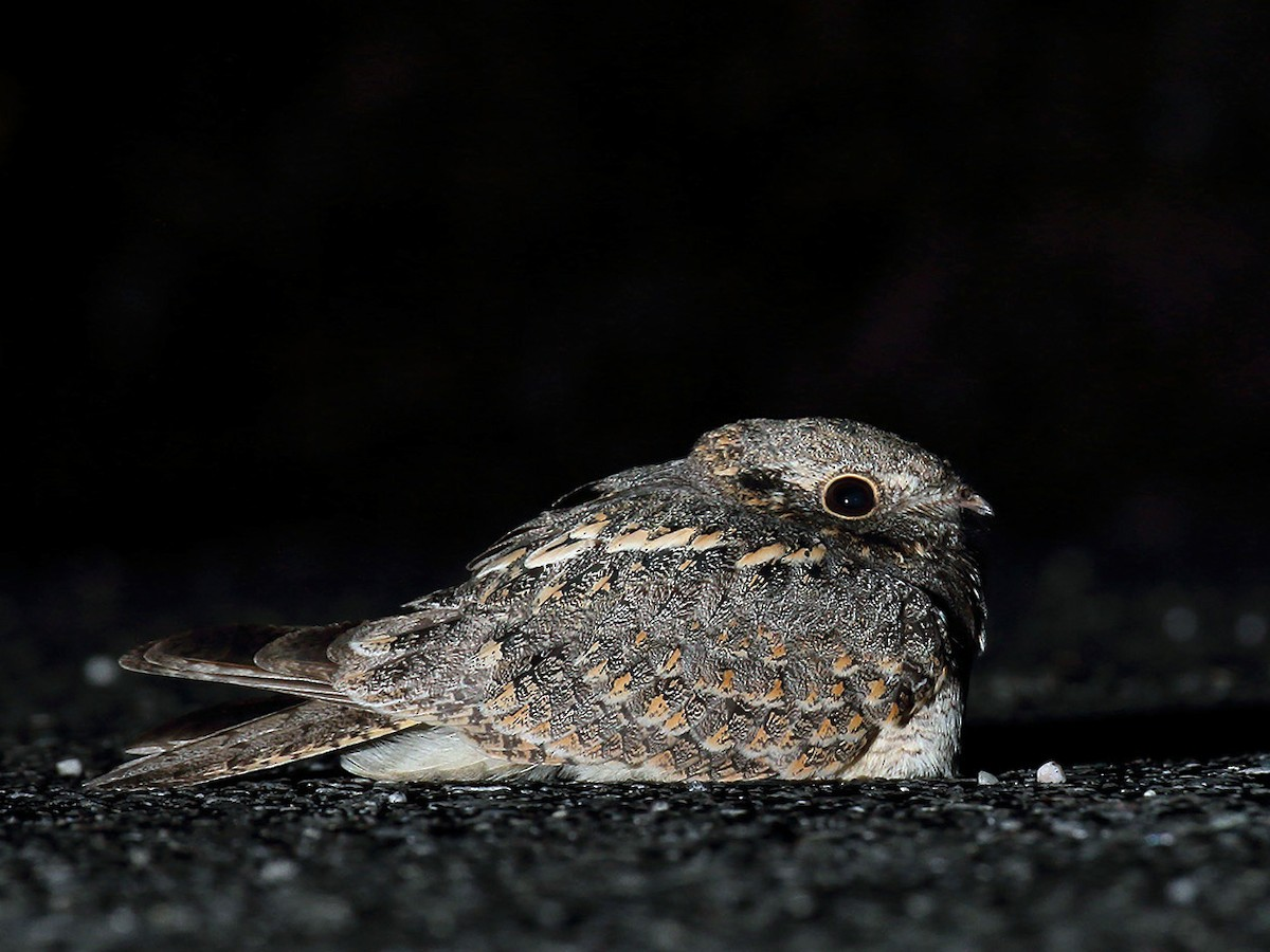Burung cabak atau savannah nightjar alias  Caprimulgus affinis